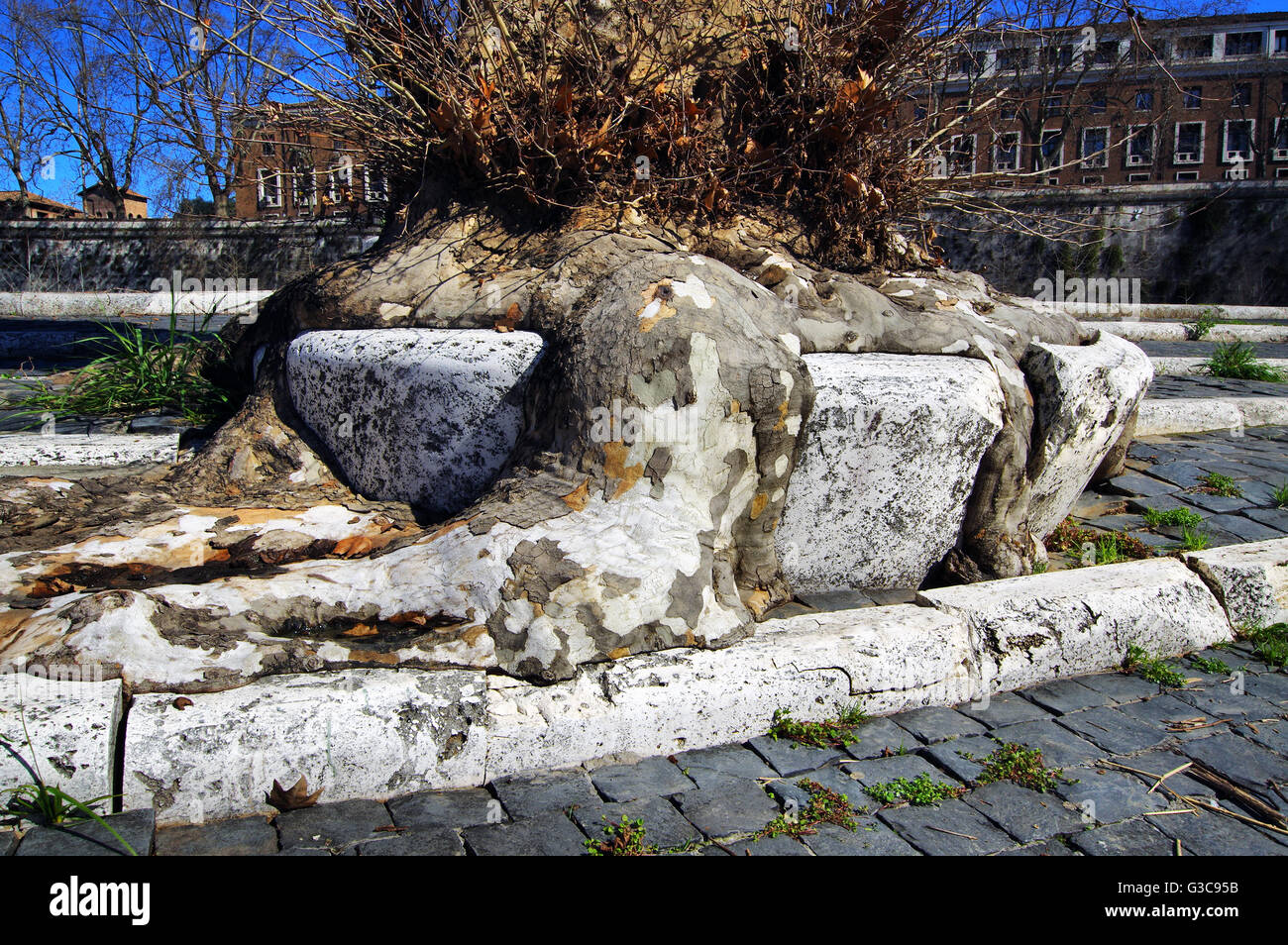 Tree Roots ability to adapt Causing Pavement Damage - Stock Image
