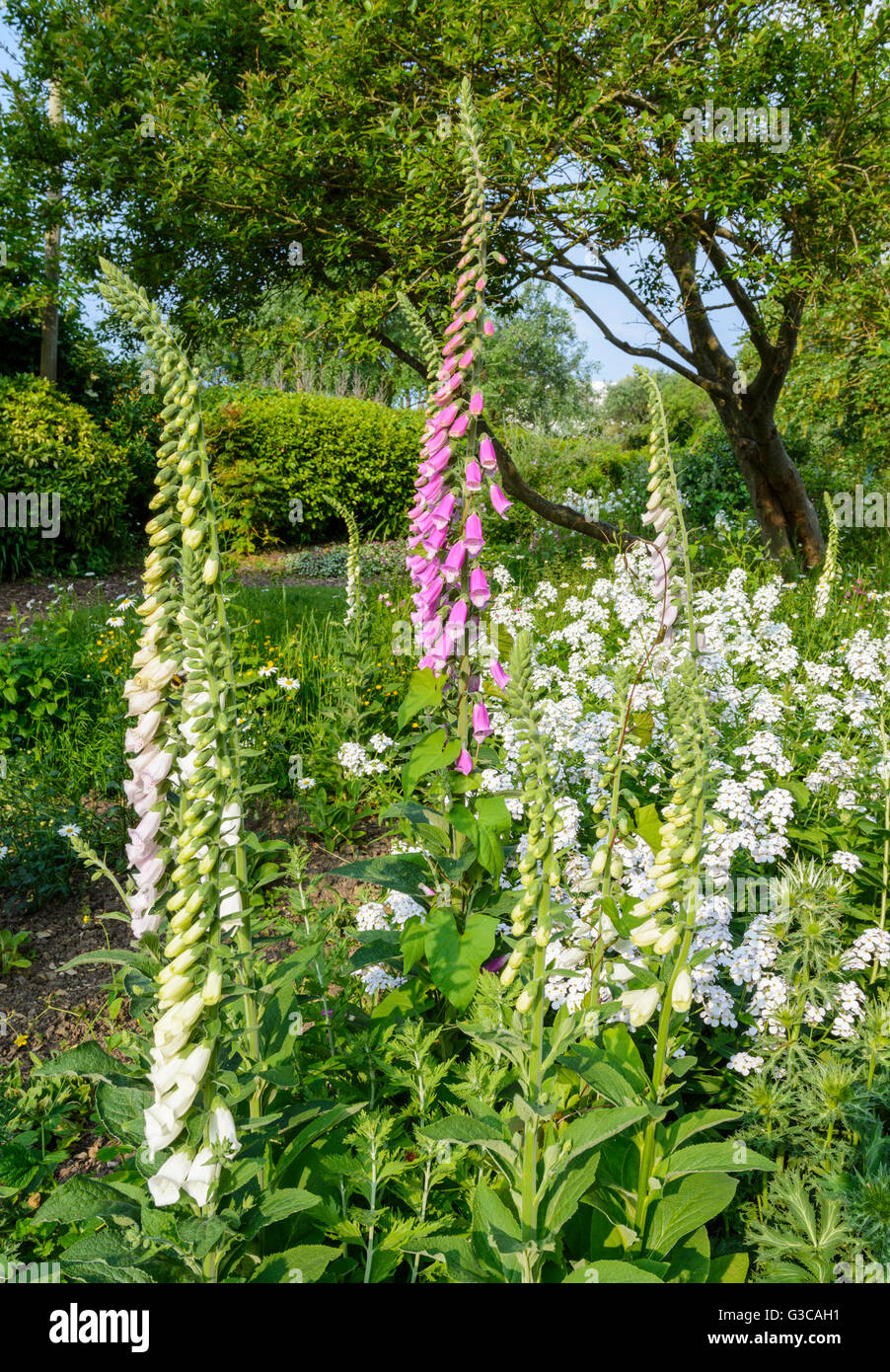 Common Foxgloves (Digitalis purpurea) growing in a park in early Summer in West Sussex, England, UK. - Stock Image
