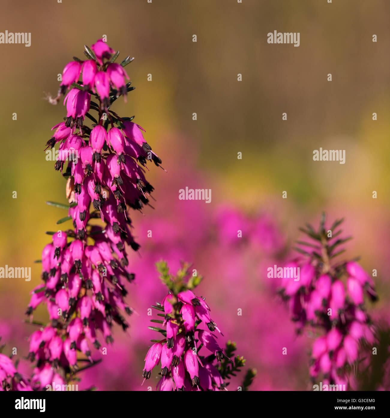 Beautiful flowers Myretoun Ruby.Erica carnea, macro photography - Stock Image