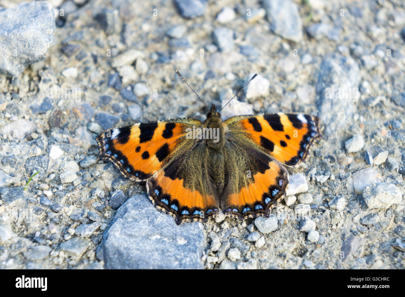 Butterfly on ground, Lepidoptera - Stock Image