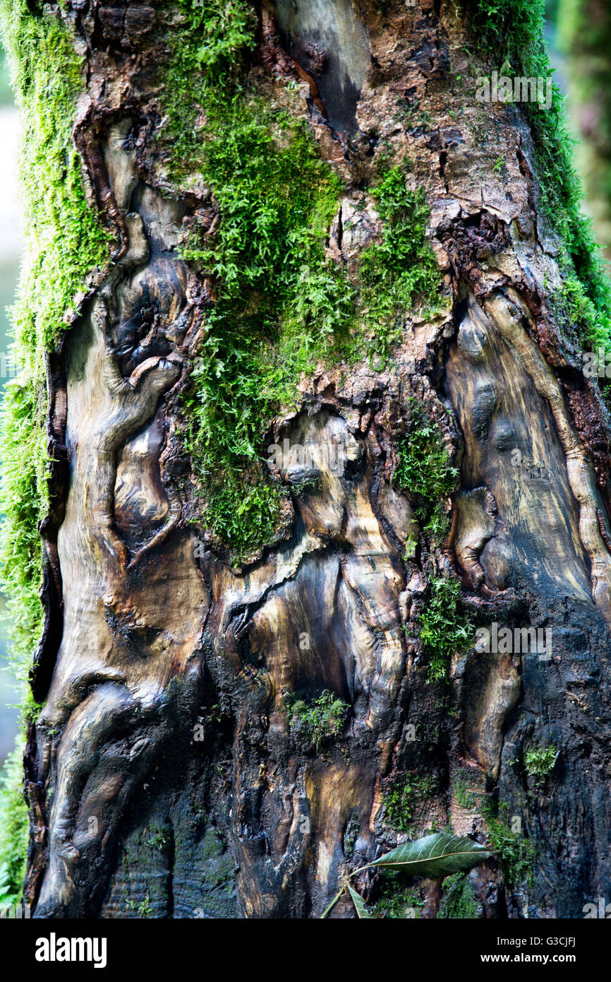 Germany, Baden-Württemberg, Black Forest, Wutach Gorge, detail, knobby moss-covered trunk - Stock Image