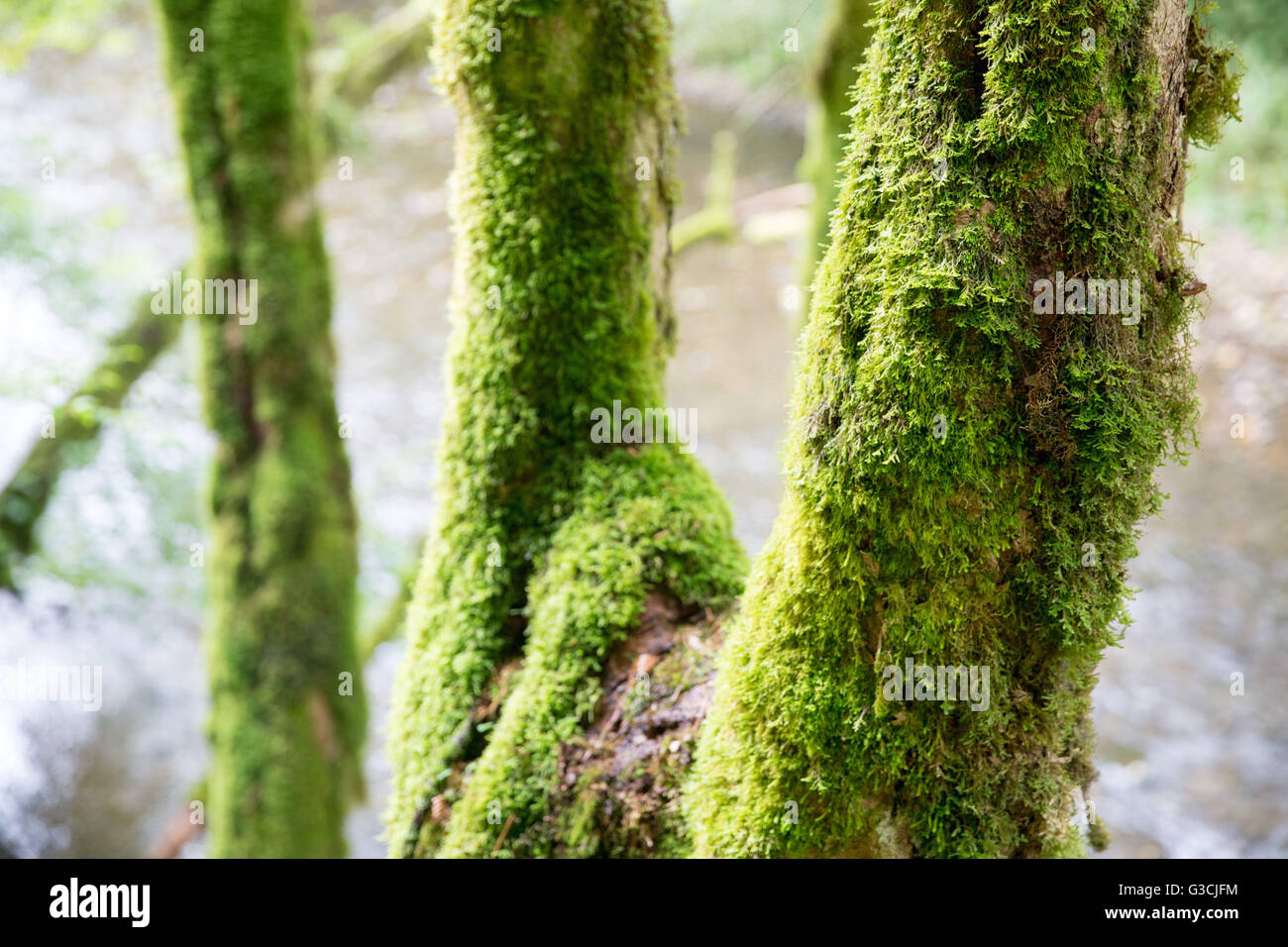Germany, Baden-Württemberg, Black Forest, Wutach Gorge, moss-covered trunks - Stock Image