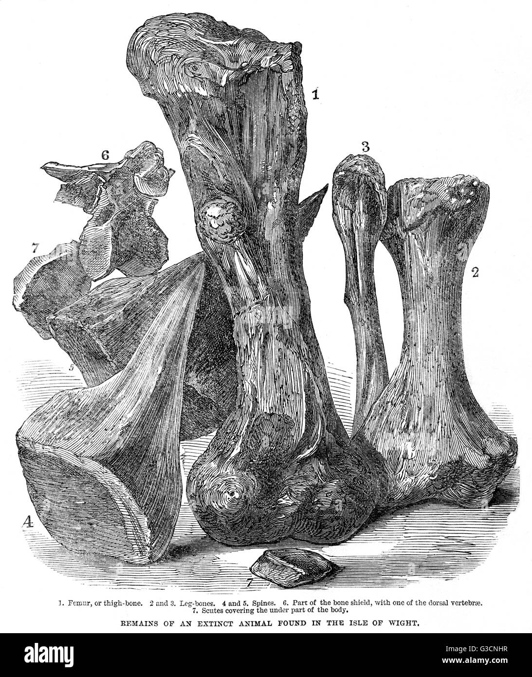 Remains of an extinct animal found in the Isle of Wight.  Engraving from the Illustrated London News showing a selection - Stock Image