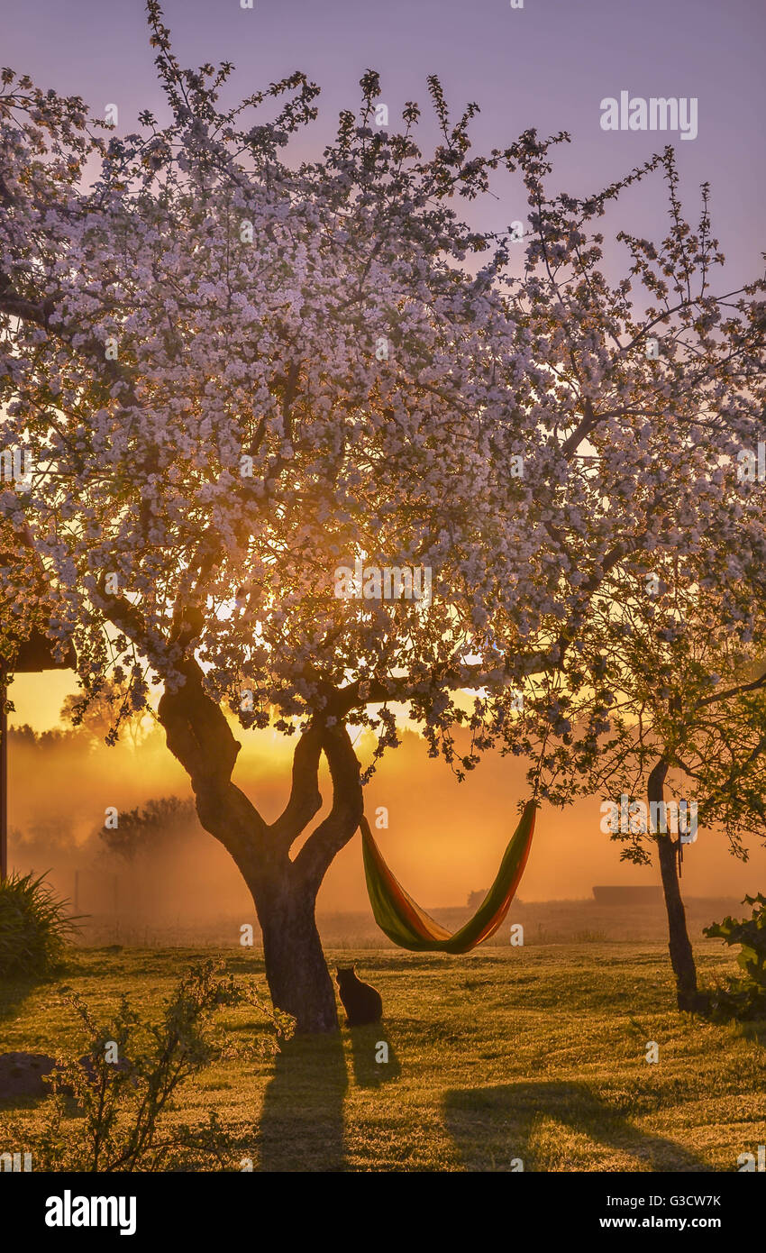 Sunrise, kitten, enjoy, amazing view, early morning , garden, home, Estonia, nature, apple tree, blooming, colourful, - Stock Image