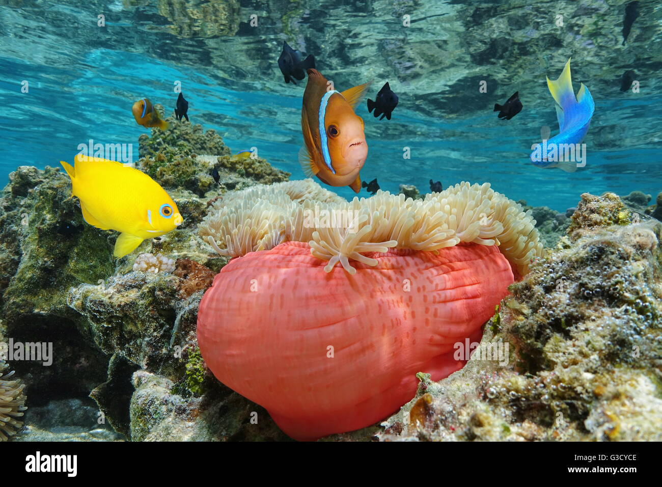 Colorful tropical fish with a Magnificent sea anemone in shallow ...