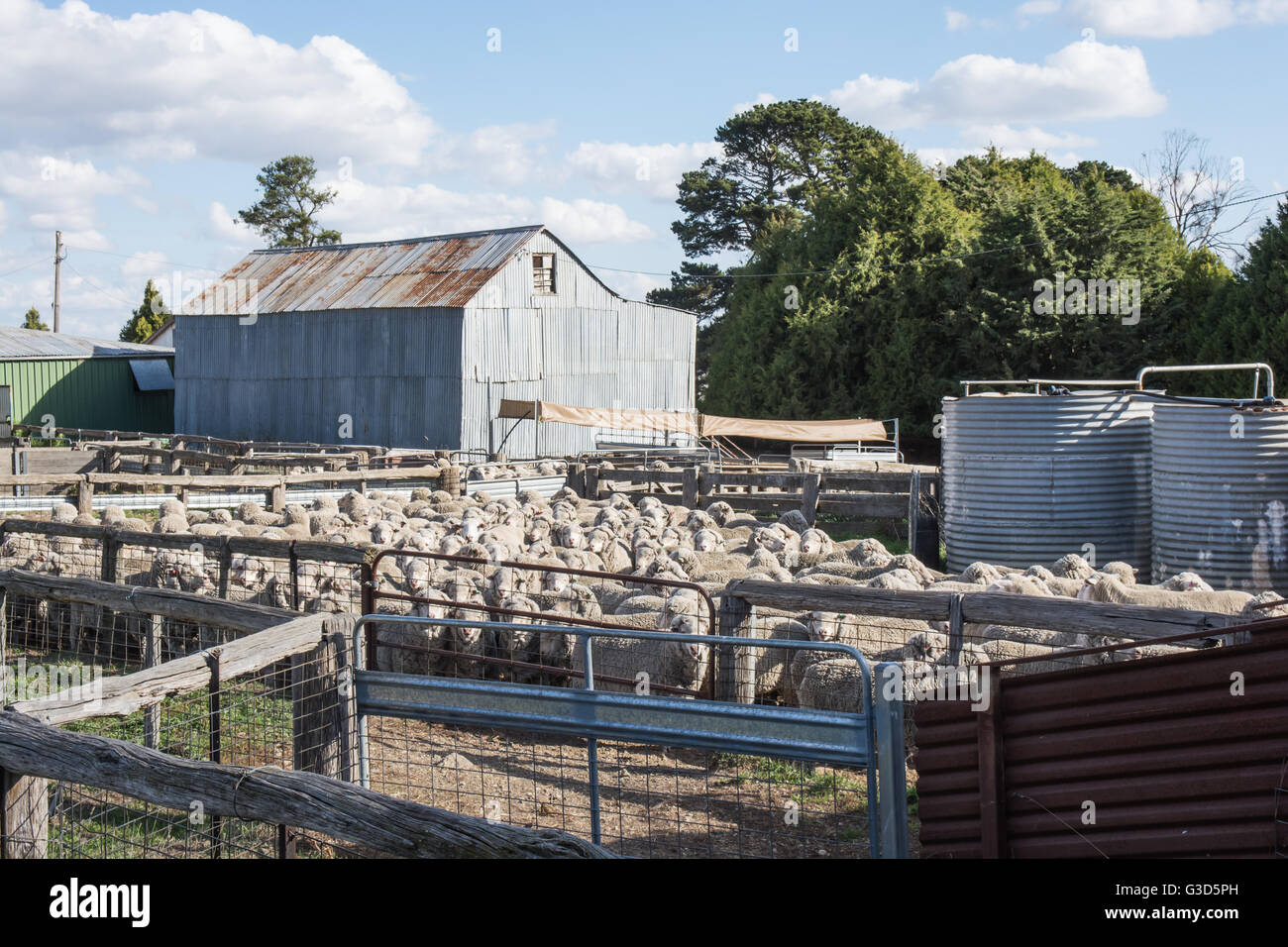 Merino Sheep in Holding Pen ready for worming. - Stock Image
