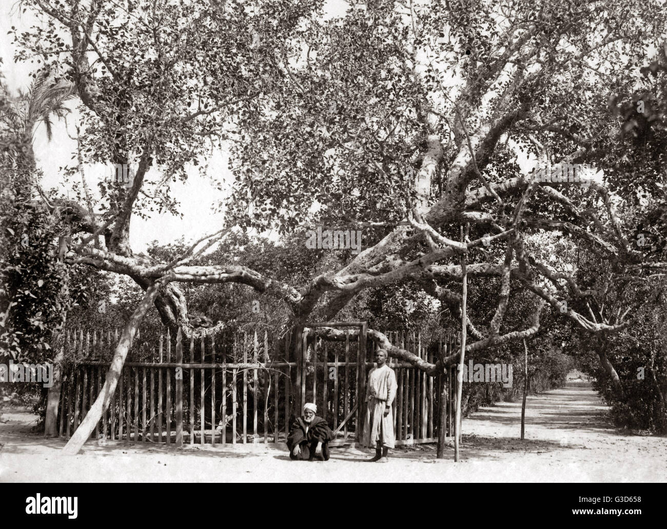 Old Olive tree in the Garden of Gethsamane 1800s.     Date: 1800s - Stock Image