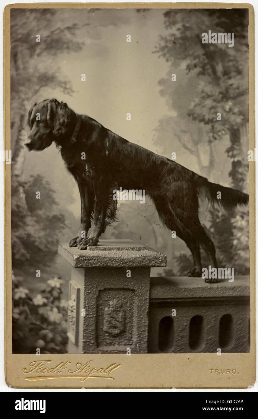 Studio portrait, dog on a pedestal.      Date: circa 1910s - Stock Image