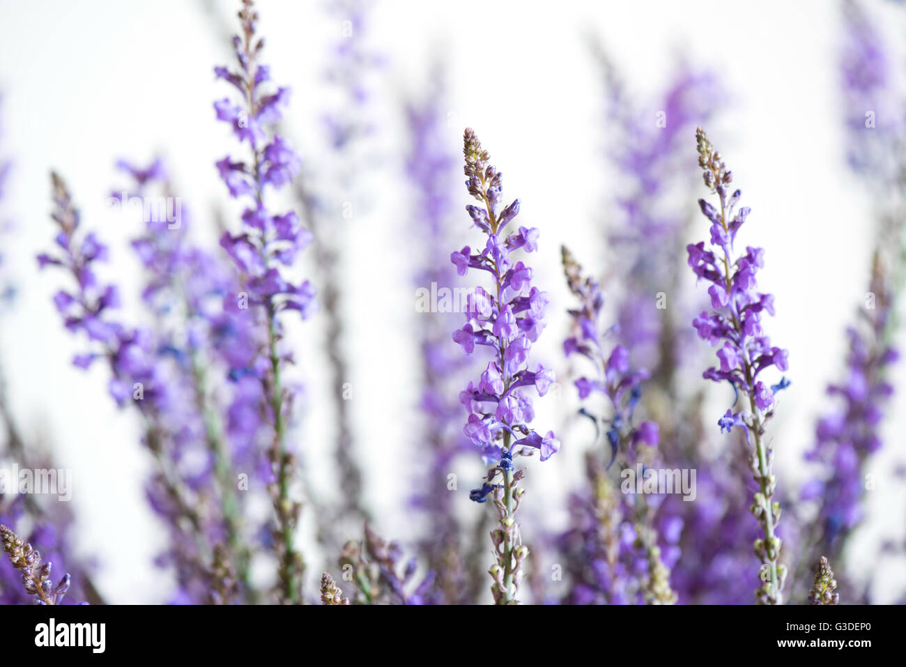 Spontaneous grass with purple flowers - Stock Image