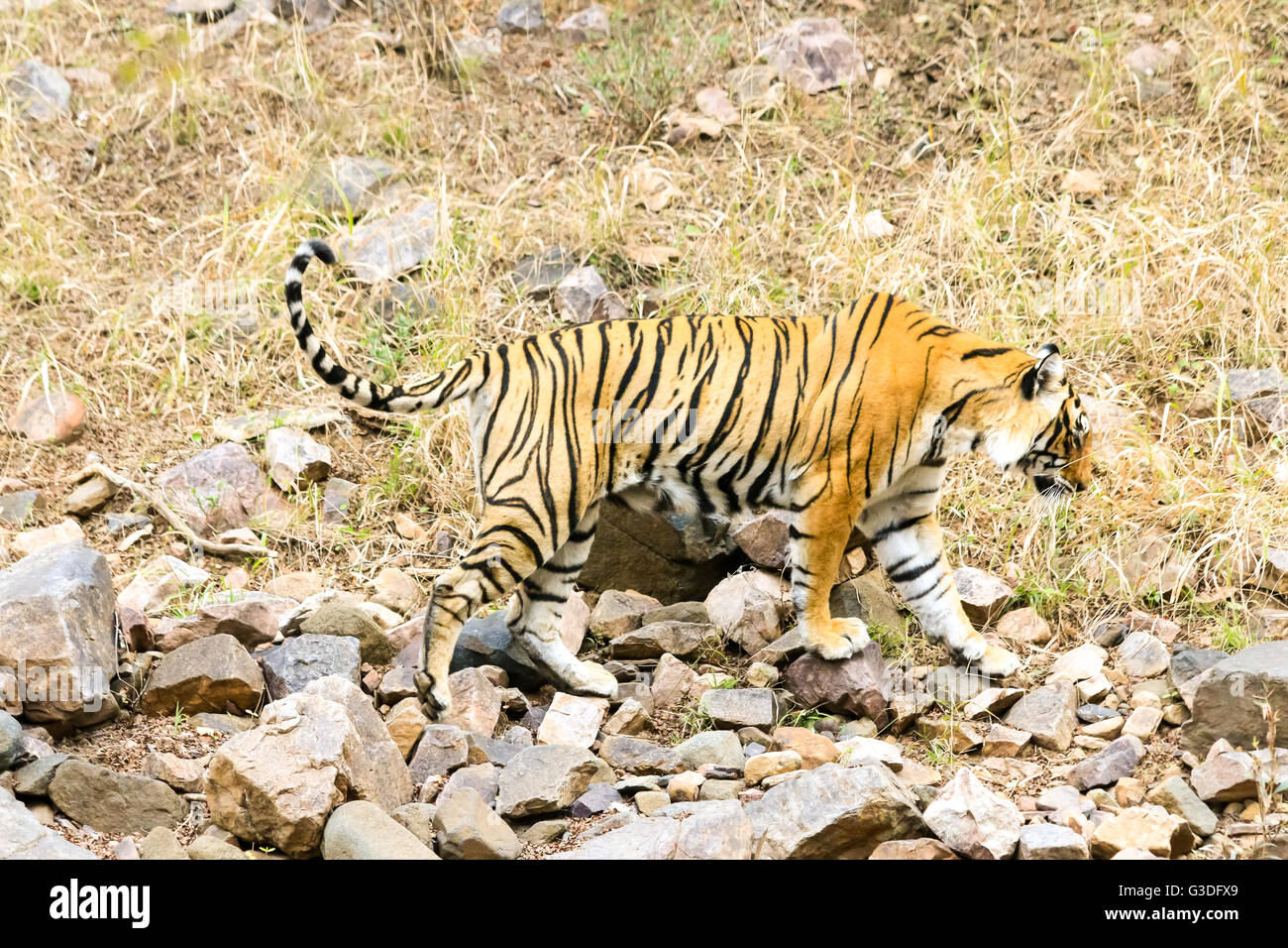 Bengal Tiger hunting for food Ranthambore National Park, India Stock Photo
