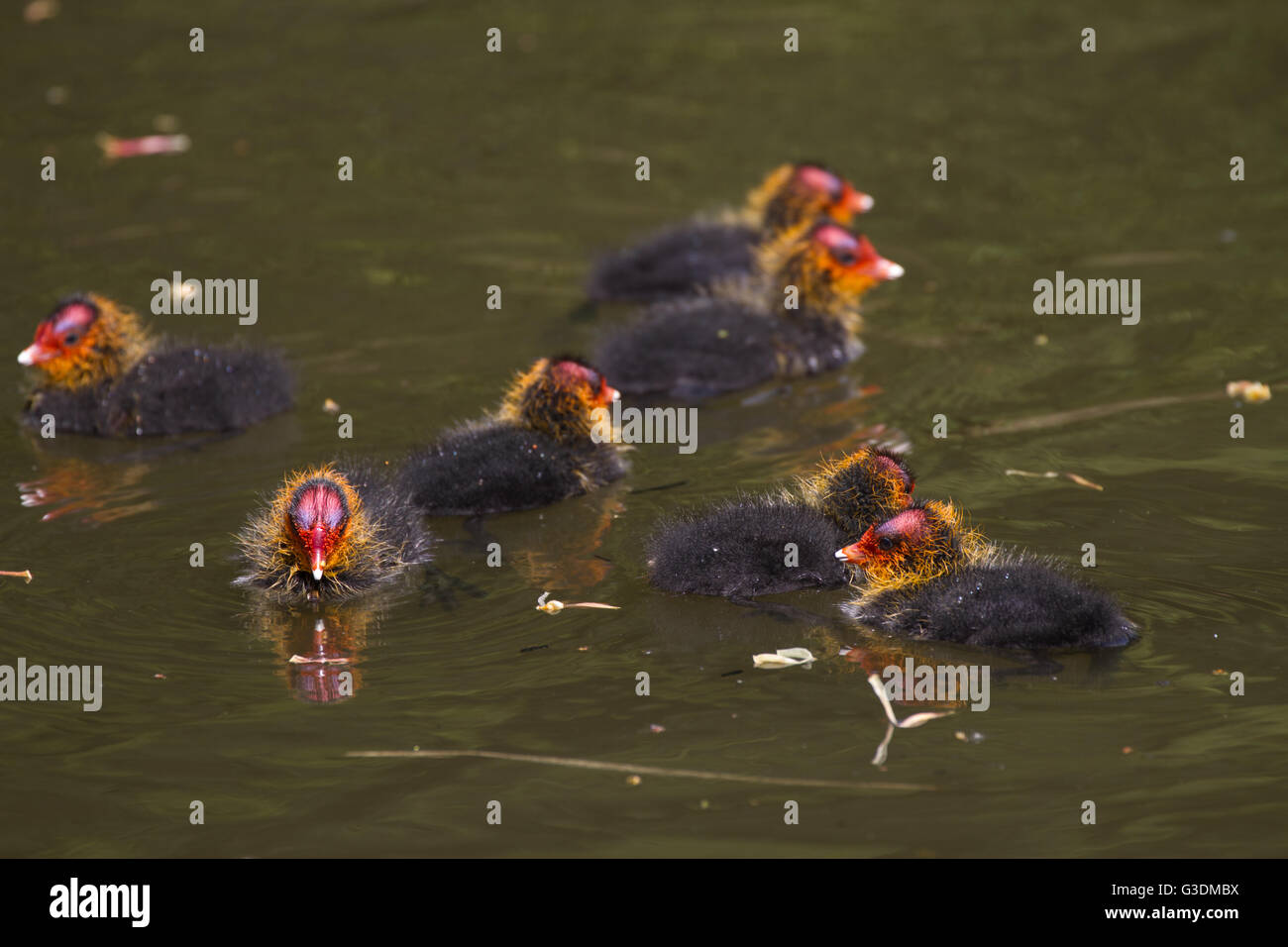 Coot chicks floating in canal. West Midlands - Stock Image