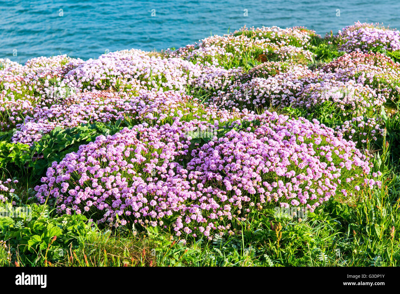 Sea pinks cornwall stock photos sea pinks cornwall stock images sea pinks or thrift armeria maritima on the clifftop at newquay cornwall mightylinksfo