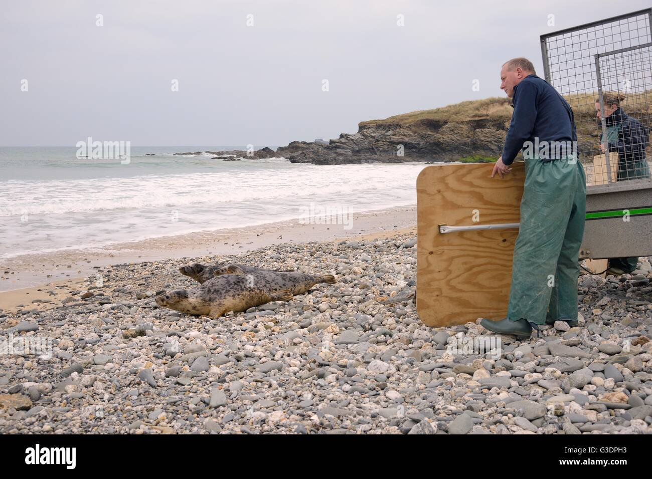 Rescued Grey seal pups (Halichoerus grypus) released after recovering from their injuries at the Cornish Seal Sanctuary. Stock Photo