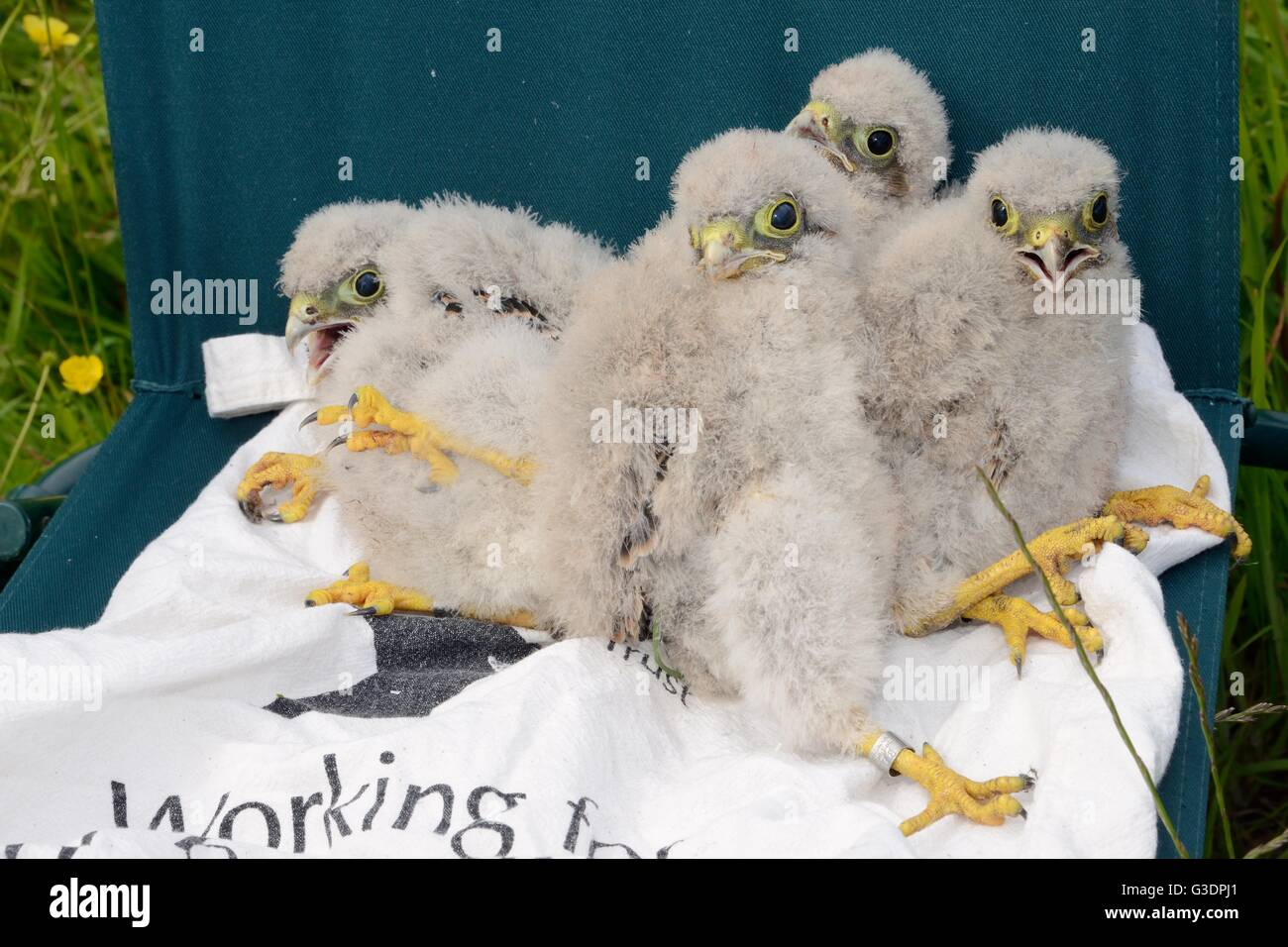 Four Kestrel chicks (Falco tinnunculus) taken from a nestbox and ringed during a survey for the Hawk and Owl Trust. - Stock Image