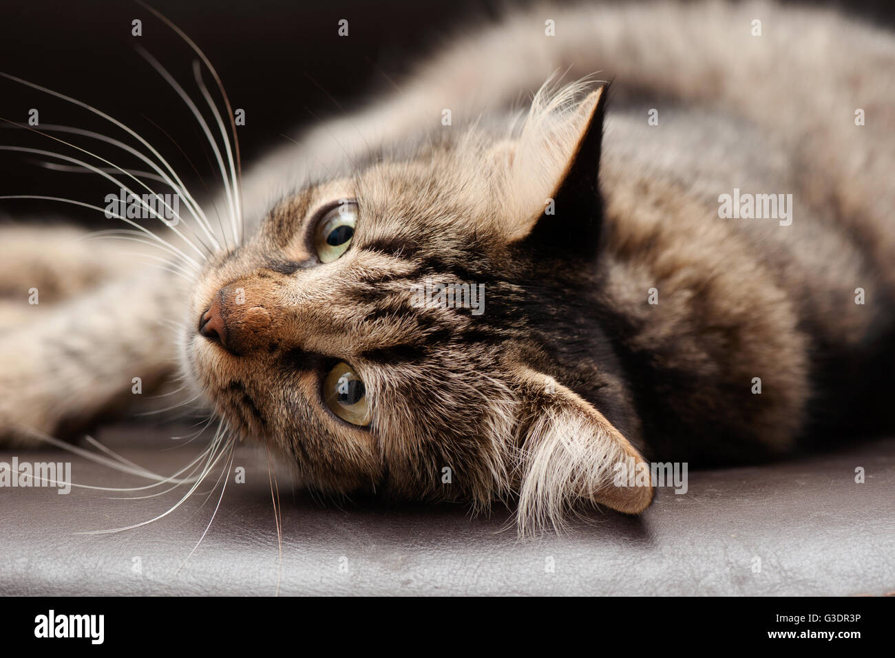 Tabby Cat Lying Down - Stock Image