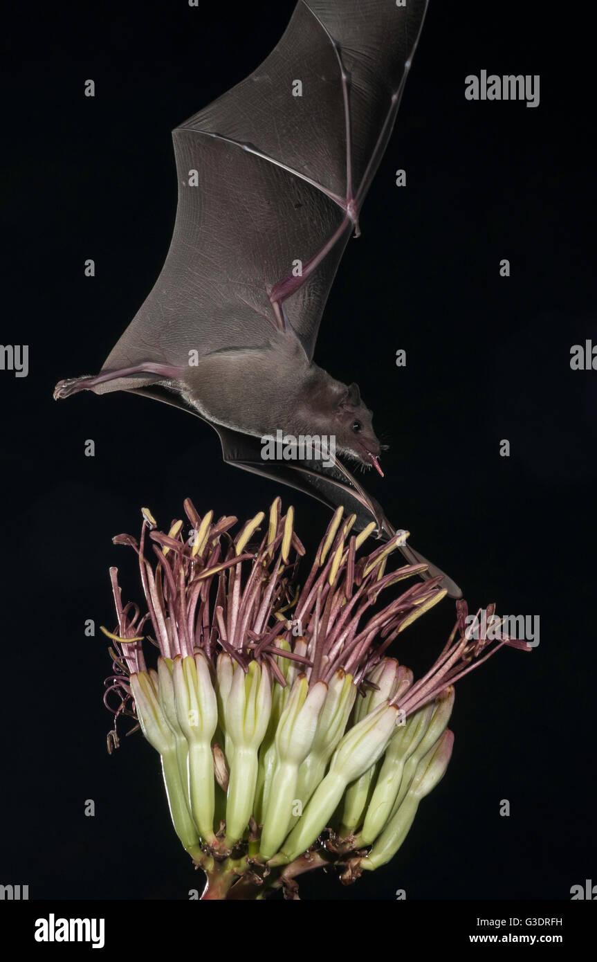 Lesser long-nosed bat, Leptonycteris yerbabuenae (curasoae), feeding on agave blooms, Green Valley, Arizona, USA Stock Photo