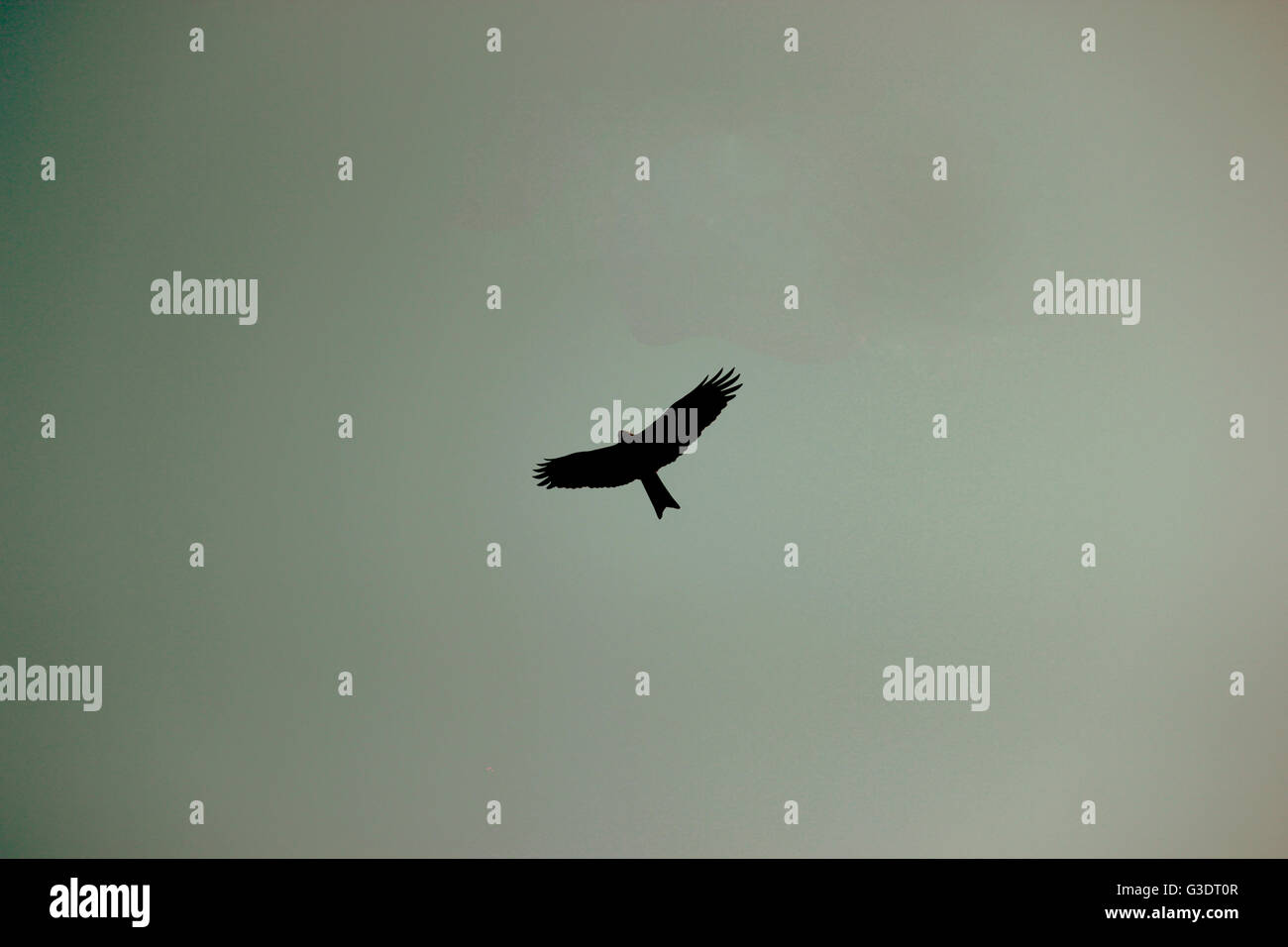 Silhouette of high flying eagle bird soaring up in the evening sky - Stock Image
