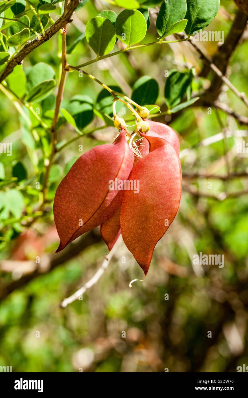 Colutea arborescens Stock Photo
