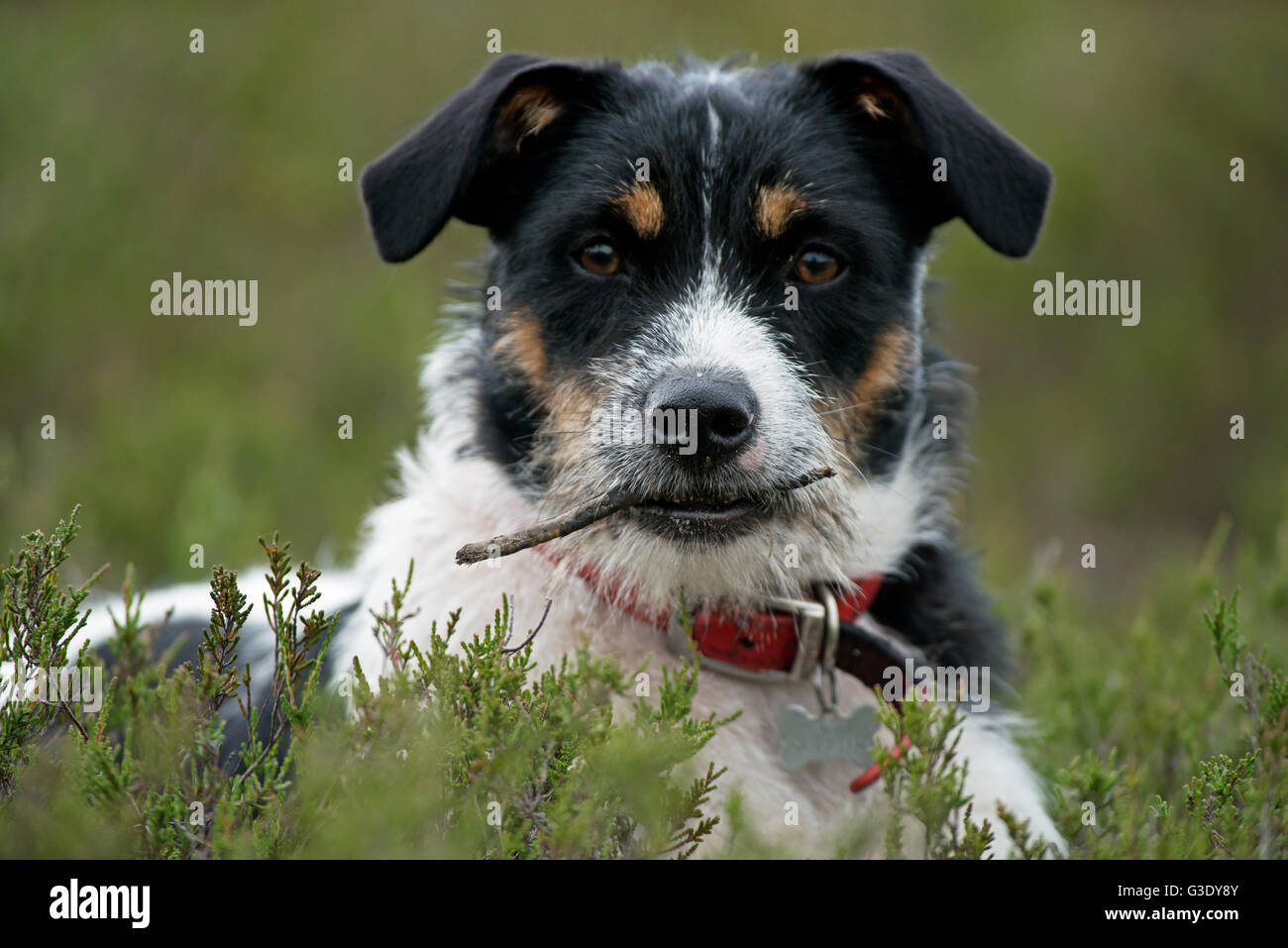 Portrait of a  Jack Russell Terrier (Canis lupus familiaris) - Stock Image
