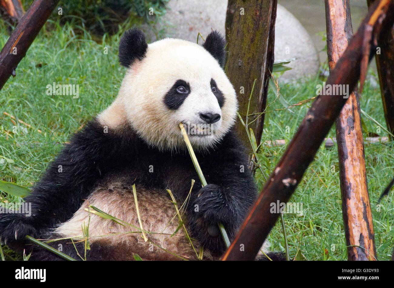 Panda bear at Chengdu Research Base of Giant Panda Breeding - Stock Image