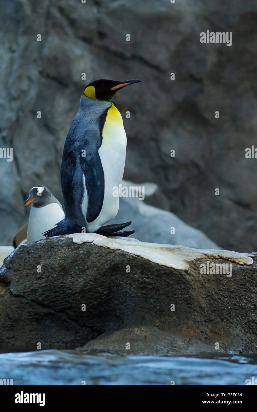 A penguin perched on a rock. - Stock Image