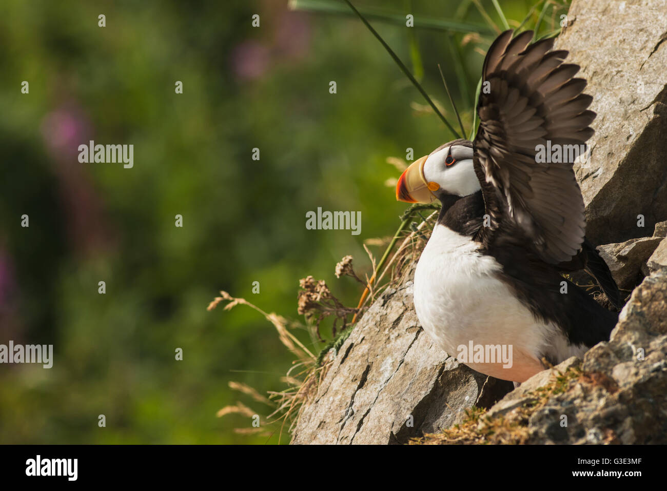 A horned puffin spreads its wings on Chisik Island in the Tuxedni Wilderness Area. Stock Photo