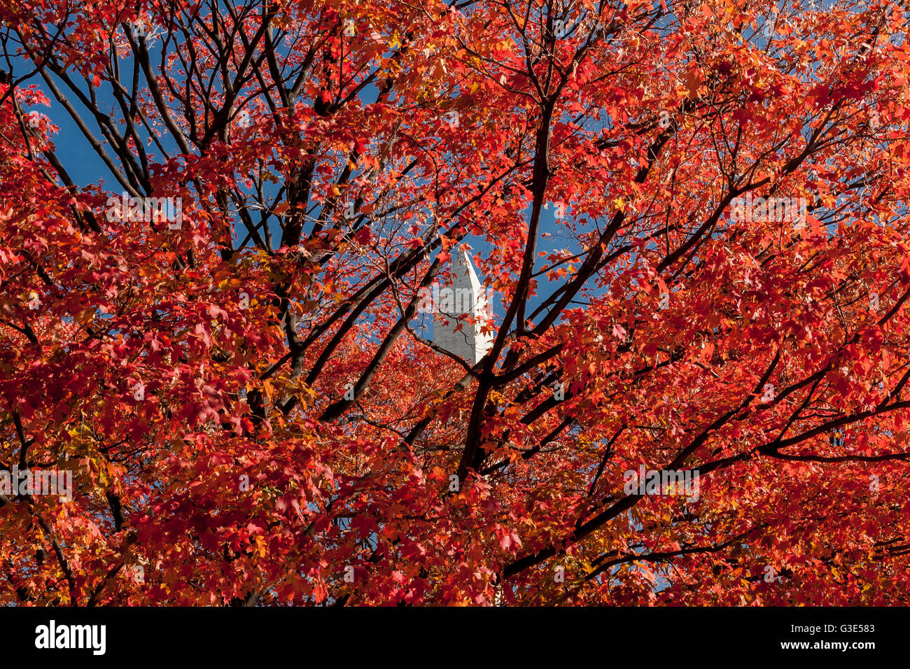 The top of The Washington Monument is just visible through a riot of colour /color  as the leaves turn crimson red - Stock Image