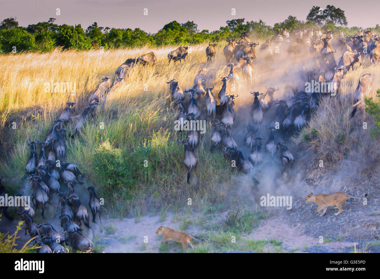Wildebeest, Connochaetes taurinus, crossing the Mara River with two Lionesses, Panthera leo, in pursuit Stock Photo