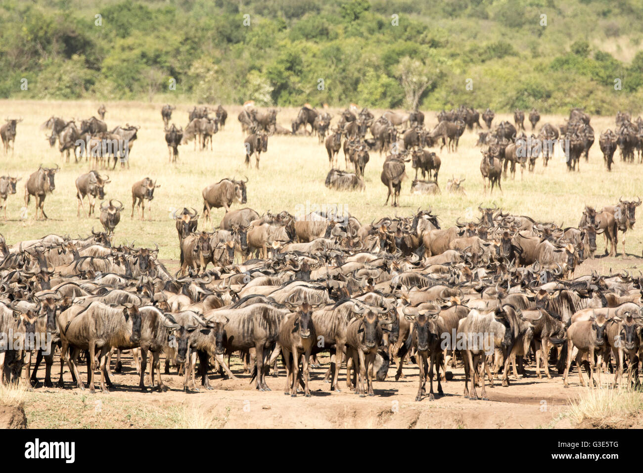Herd of Wildebeest, Connochaetes taurinus, gathering at the Mara River during the Great Migration Masai Mara, Kenya, - Stock Image