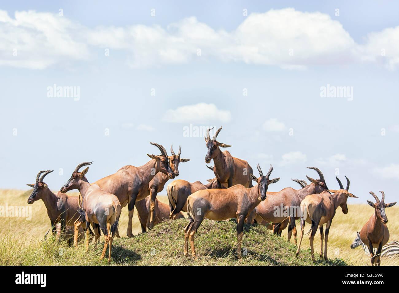 Herd of Topi, Damaliscus lunatus, gathered on a termite mound in the Masai Mara, Kenya, East Africa - Stock Image