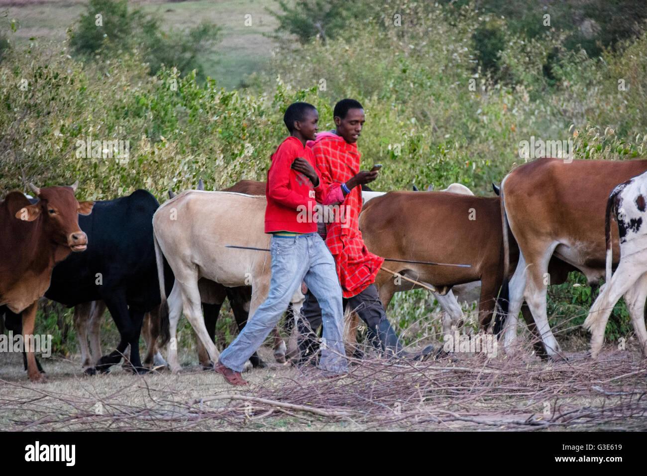 Masai man checks his cell phone while herding cattle in a village near the Masai Mara, Kenya, East Africa - Stock Image