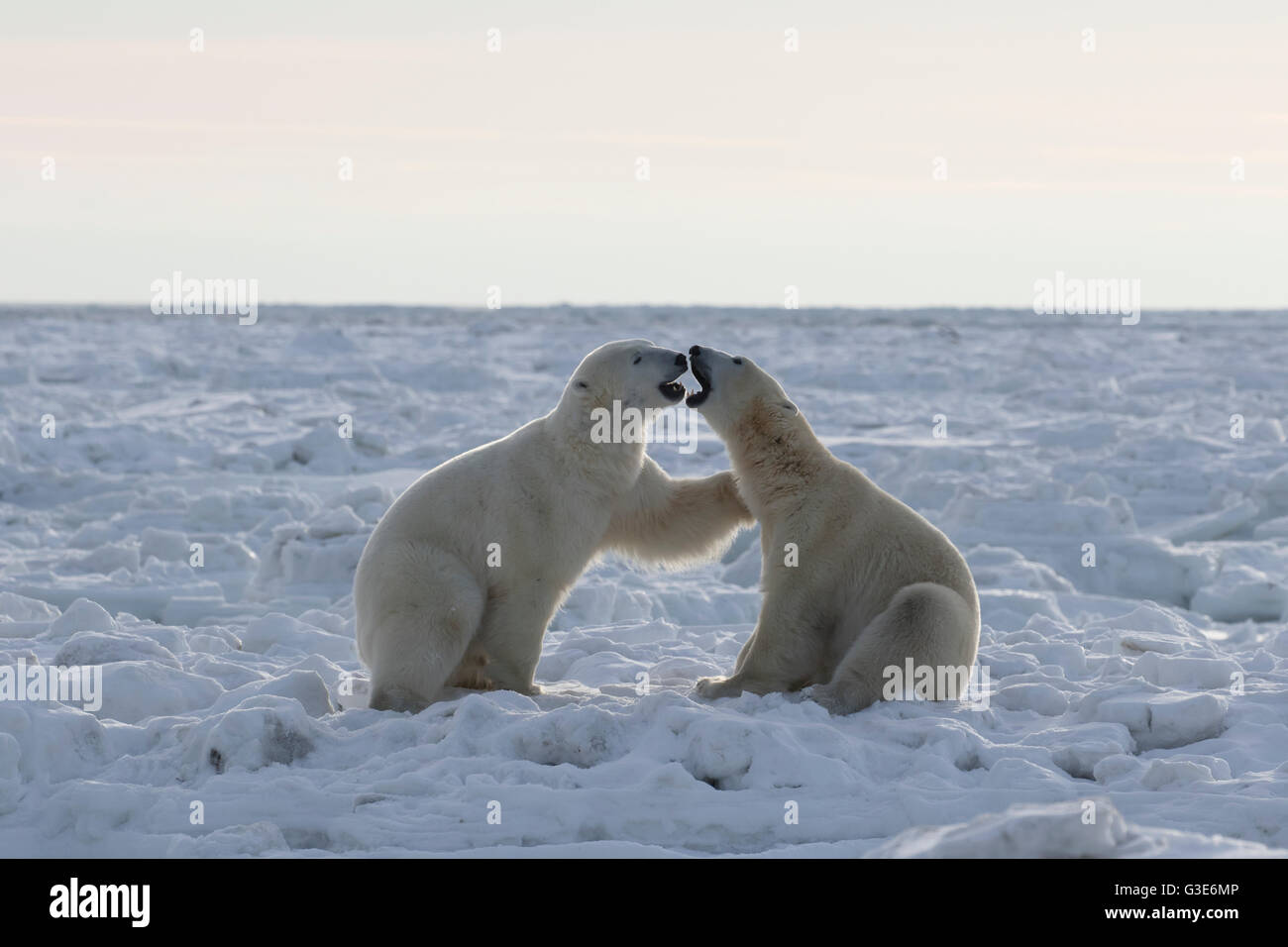 Polar bears (ursus maritimus) sparring on the coast of Hudson Bay; Churchill, Manitoba, Canada - Stock Image