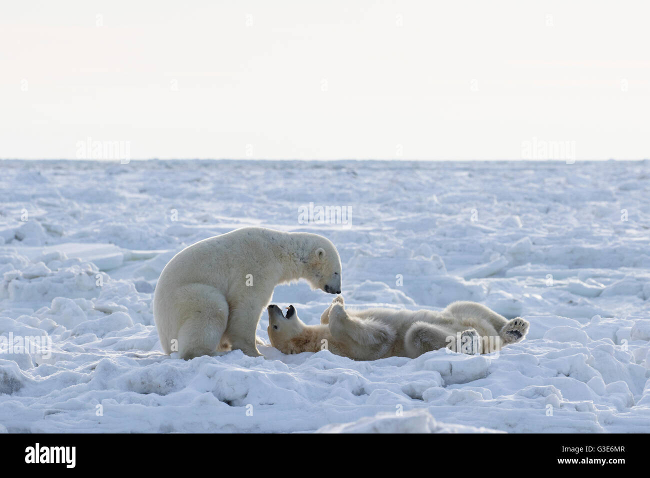 Polar bears (ursus maritimus) sparring on the coast of Hudson Bay; Churchill, Manitoba, Canada - Stock Image