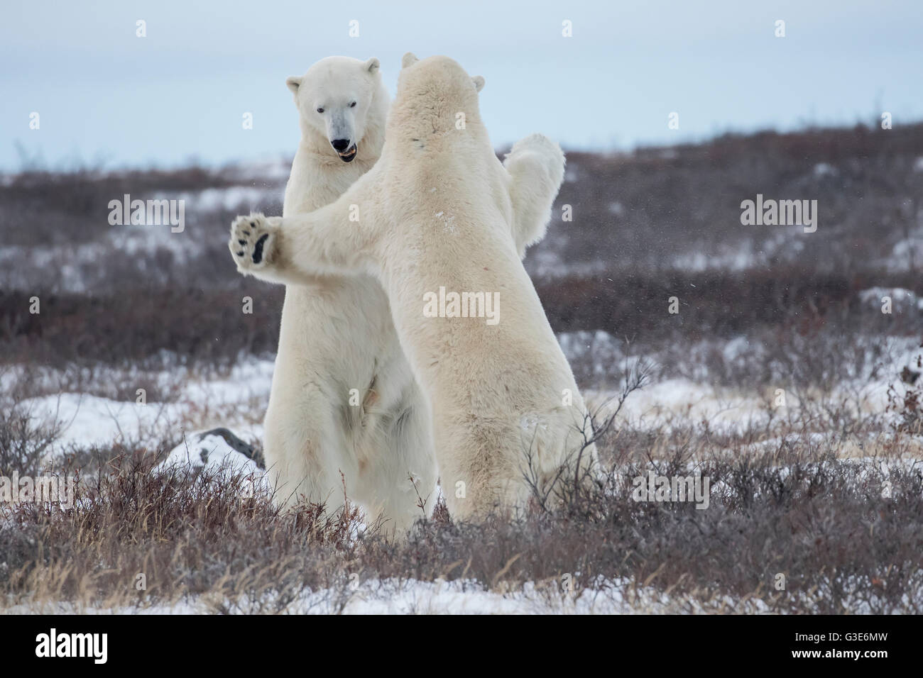 Polar bears (ursus maritimus) sparring on the coast of Hudson Bay; Manitoba, Canada - Stock Image