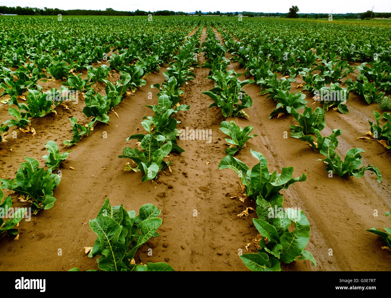 Agriculture - Field of mid growth horseradish plants / Wisconsin, USA. - Stock Image