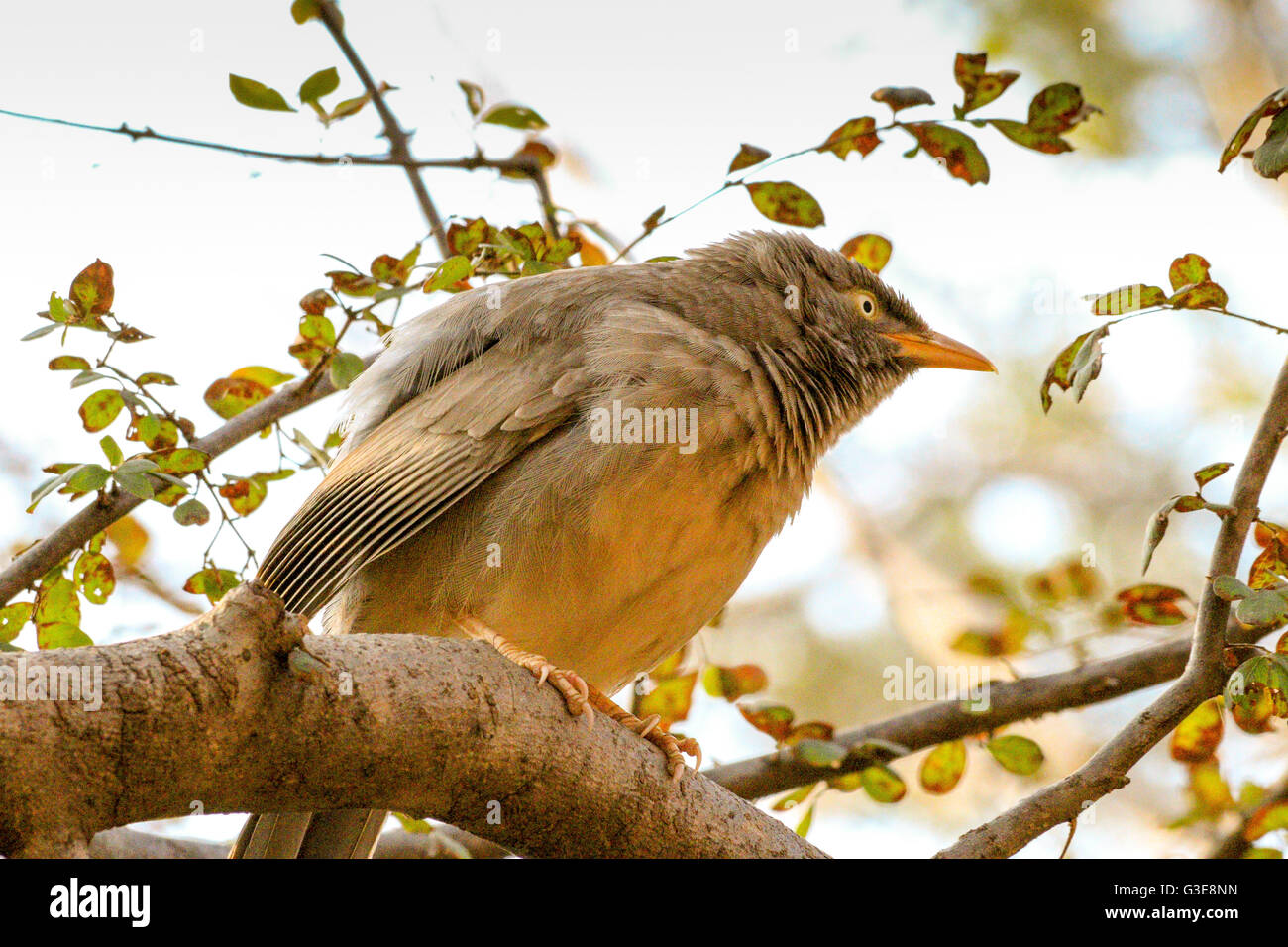 RufousTreepie bird sitting on a tree in Ranthambore National Park, India Stock Photo