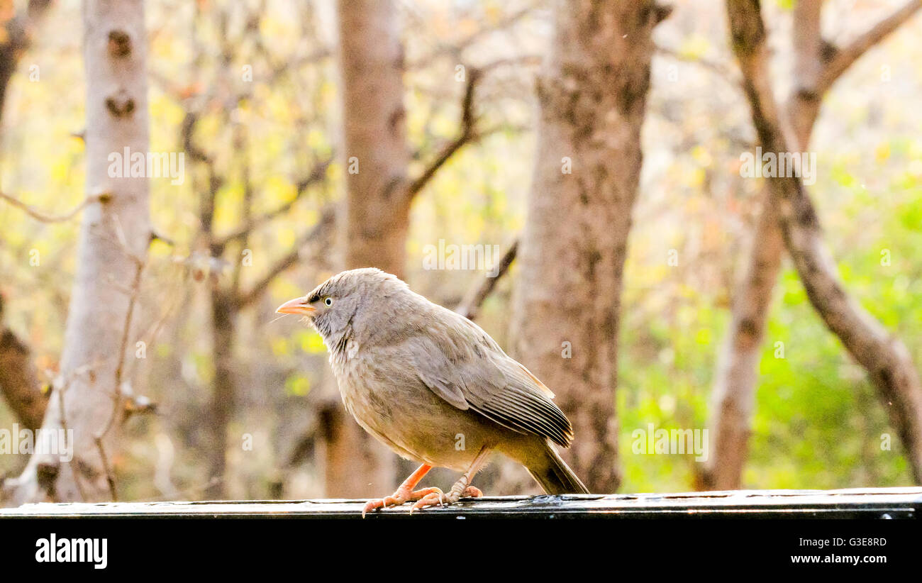 RufousTreepie bird sitting on a tree in Ranthambore National Park, India - Stock Image