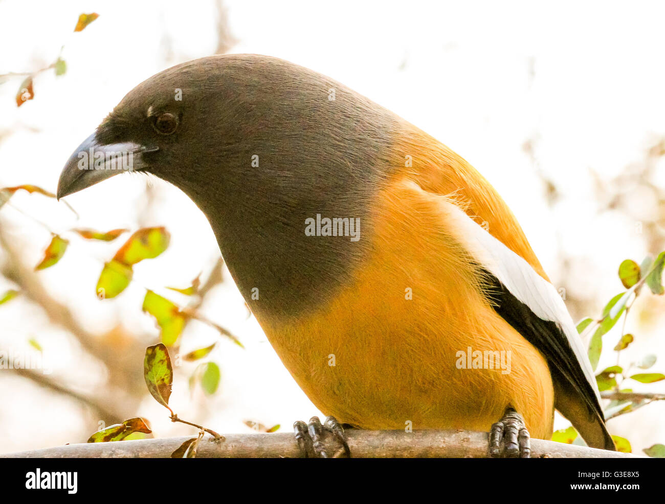 Rufus Treepie bird sitting on a tree in Ranthambore National Park, India - Stock Image
