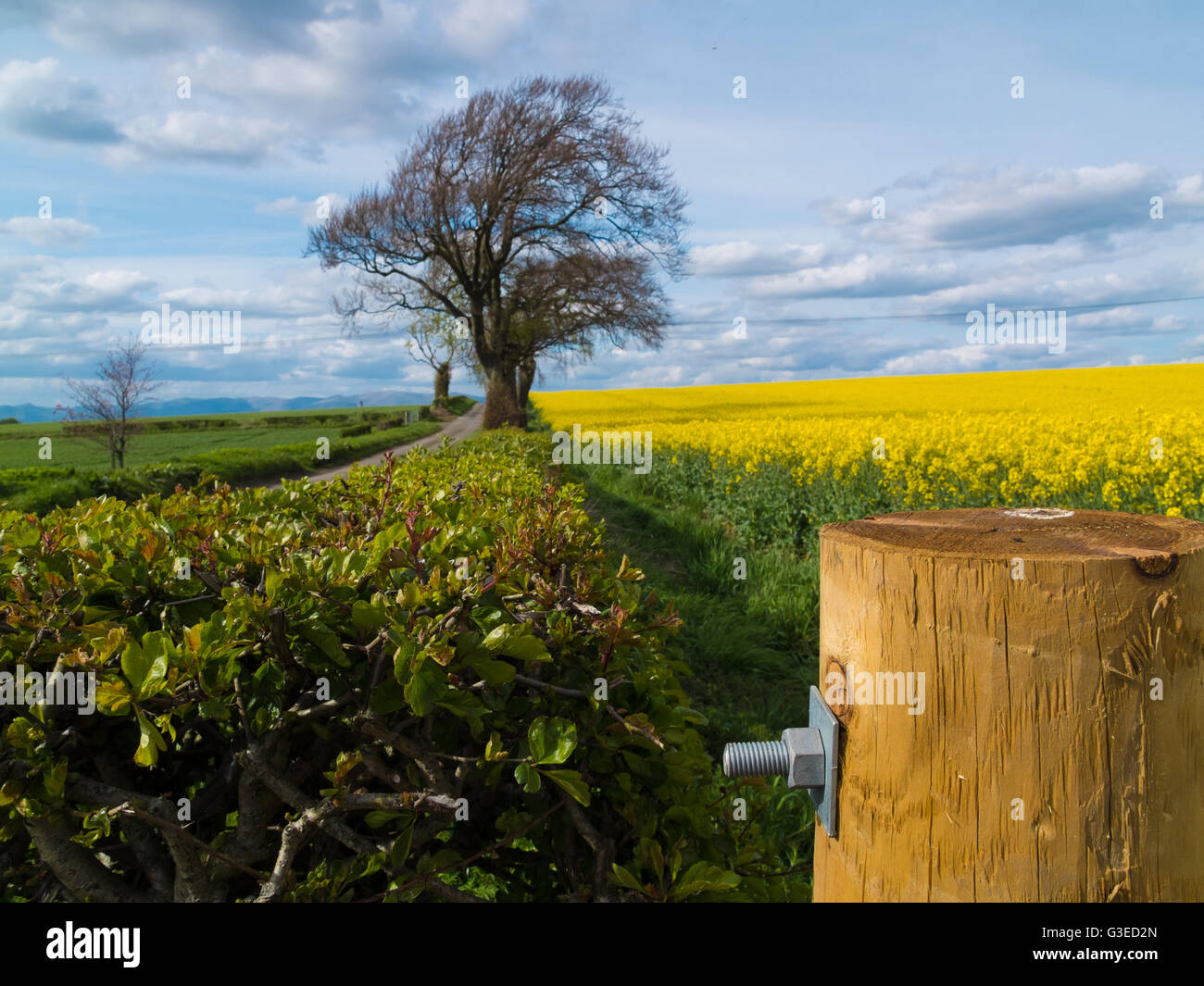 rapeseed field and wooden fence post - Stock Image