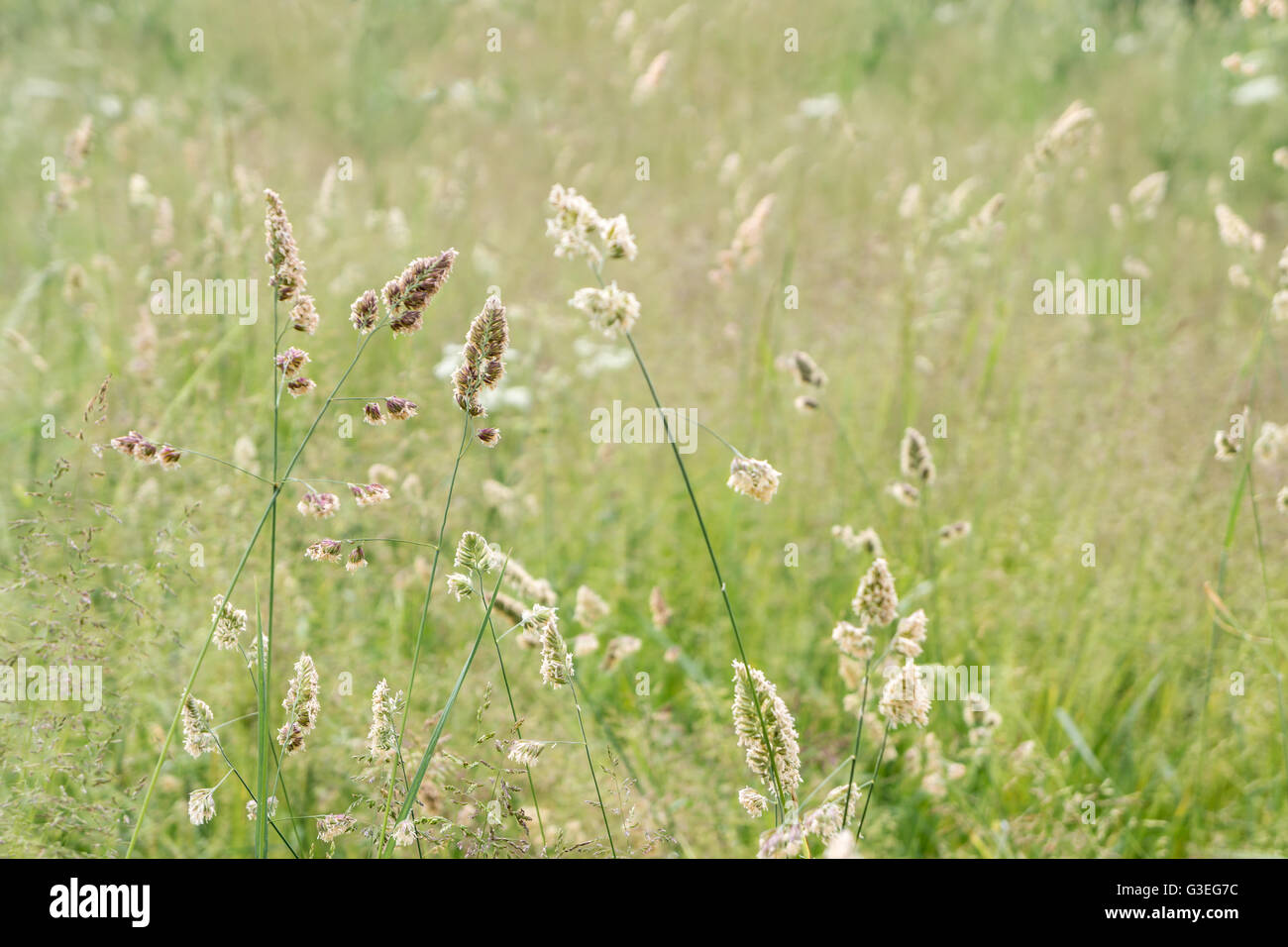 Hayfever Seaon - Stock Image