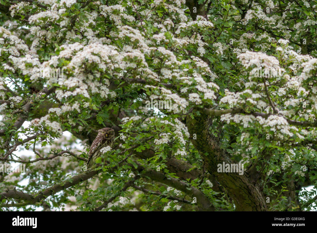 Little owl well camouflaged in a flowering hawthorn tree - Stock Image