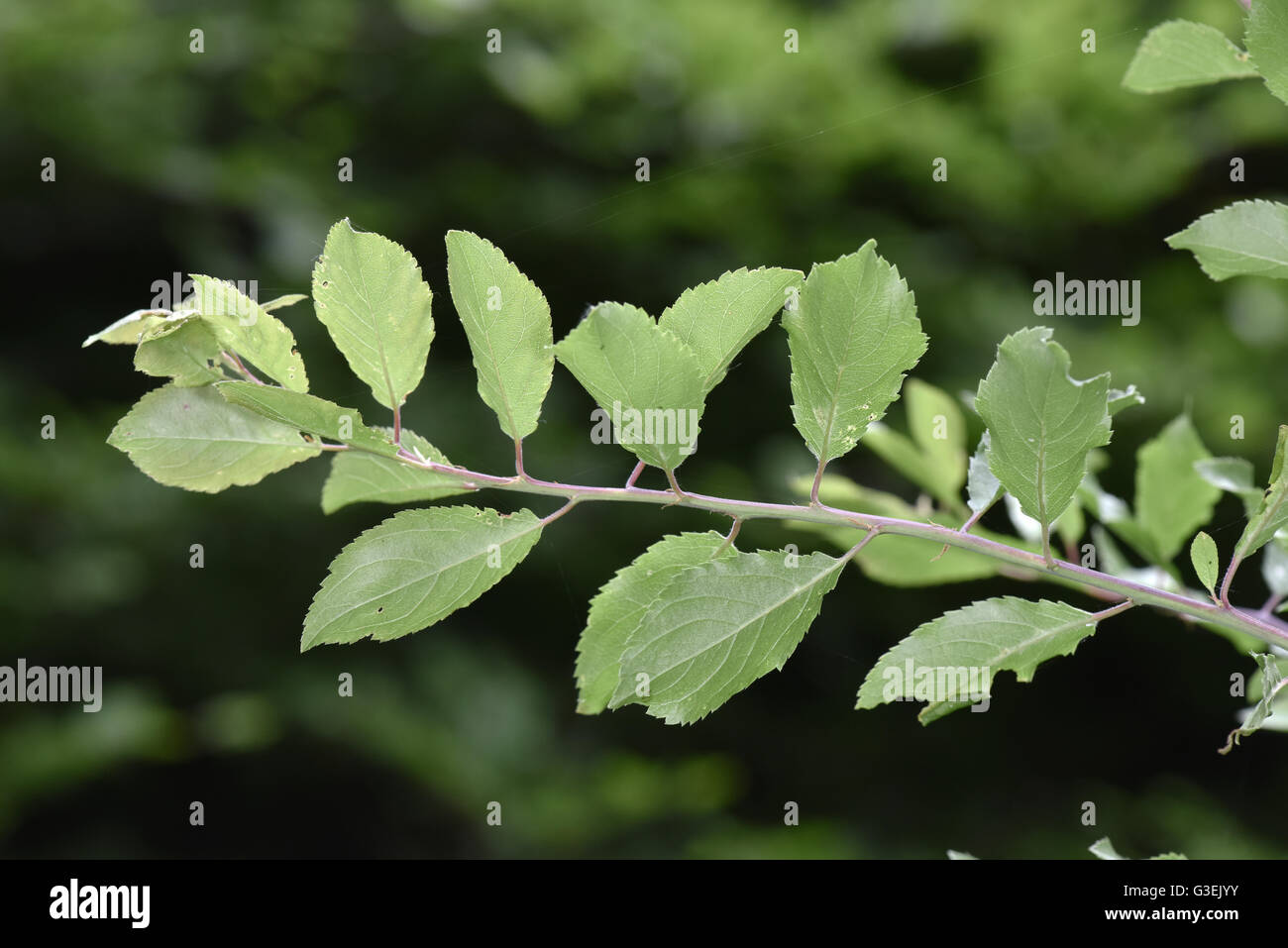 Blackthorn - Prunus spinosa - Stock Image