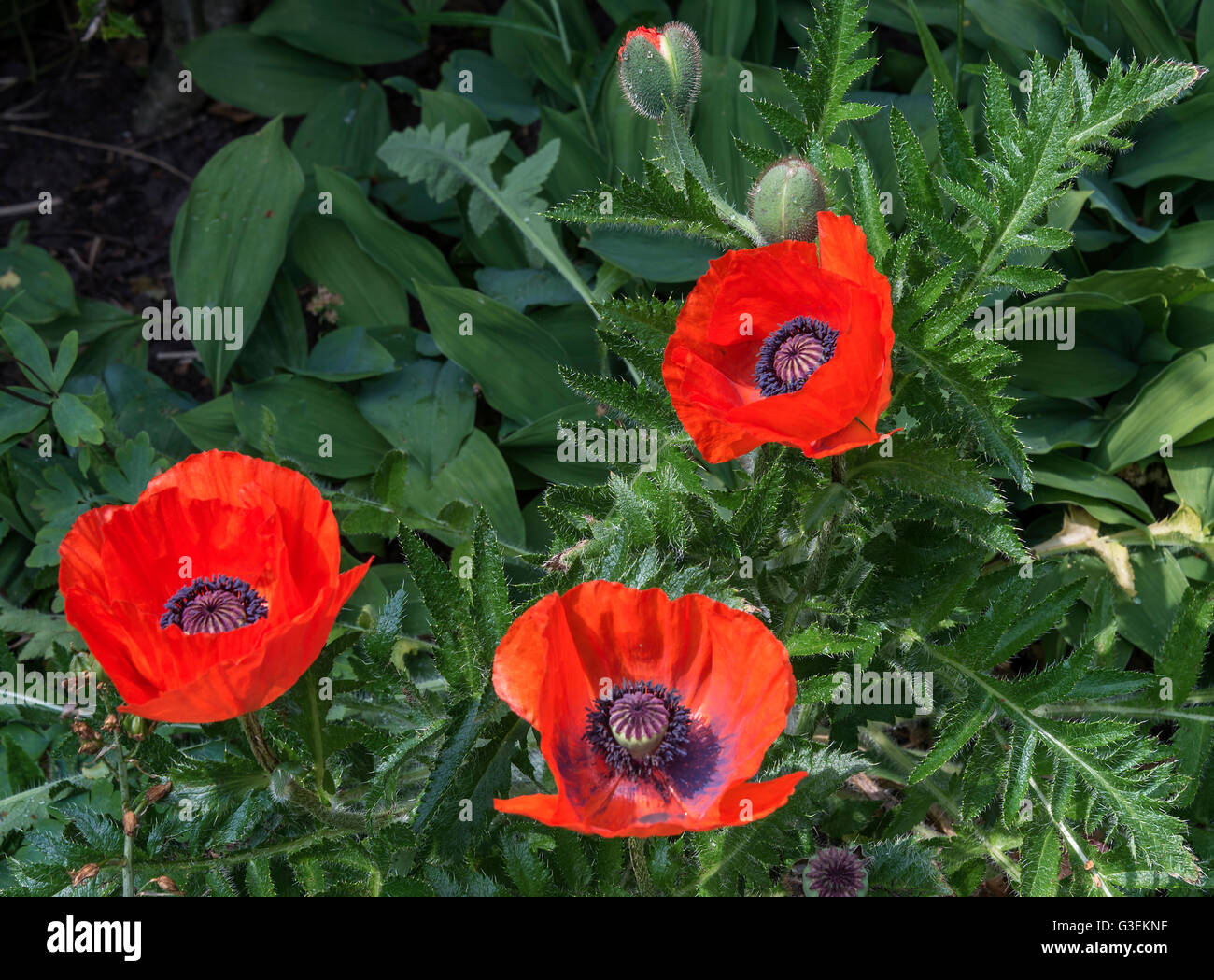 Bright Red Oriental Poppy Flowers In Full Bloom In A Cheshire Garden