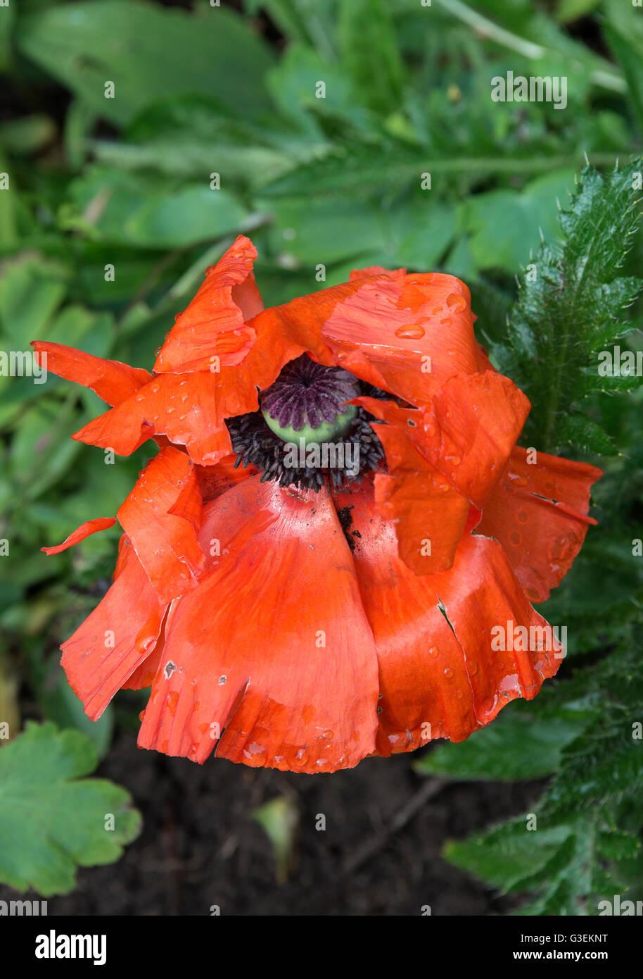 A single bright red oriental poppy flower in full bloom in a a single bright red oriental poppy flower in full bloom in a cheshire garden alsager england united kingdom uk mightylinksfo