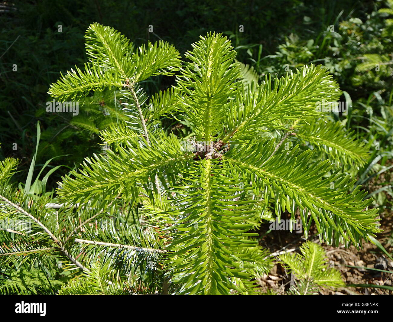 green background from fir-tree branches, fir twig - Stock Image
