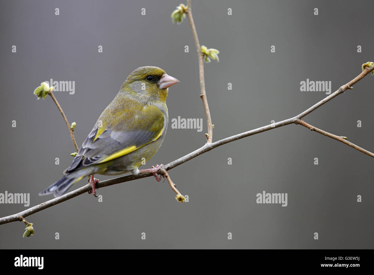 European Greenfinch, Carduelis chloris, male perched on Spring twig - Stock Image