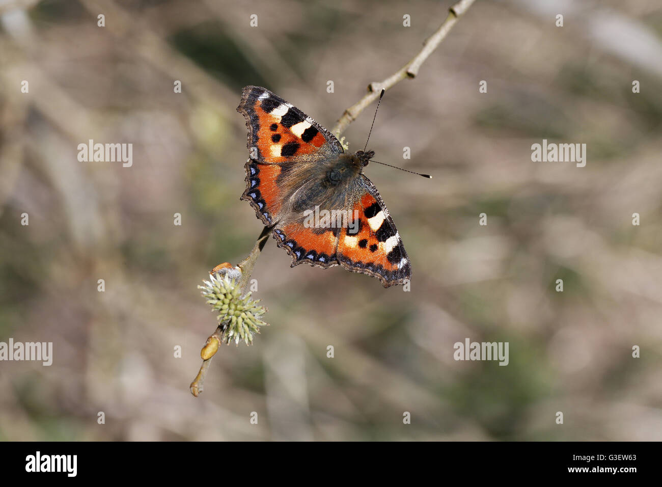 Small Tortoiseshell, Aglais urticae, in Spring nectaring on willow - Stock Image