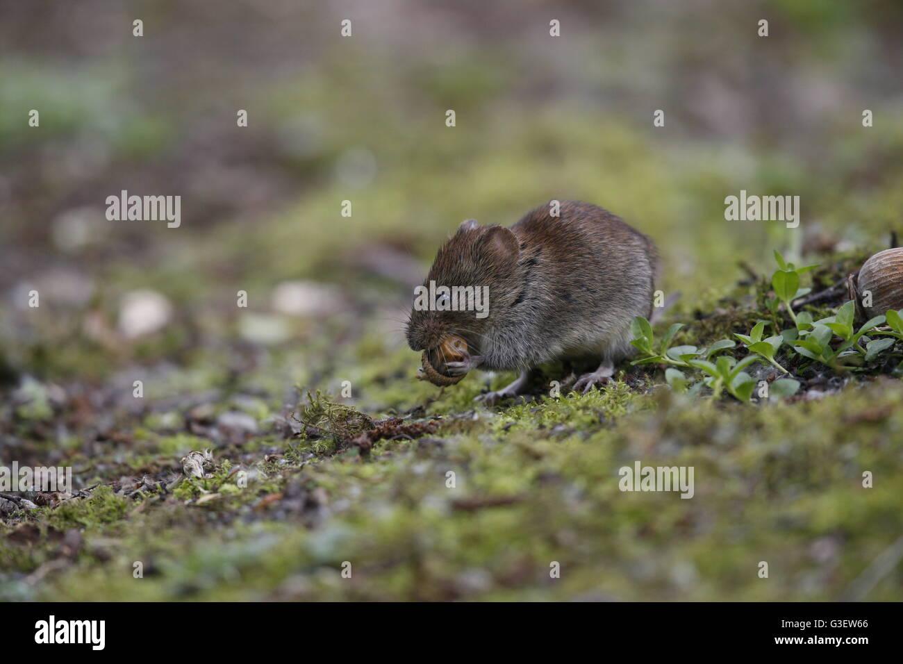 Bank Vole, Myodes (Clethrionomys) glareolus, eating acorn - Stock Image