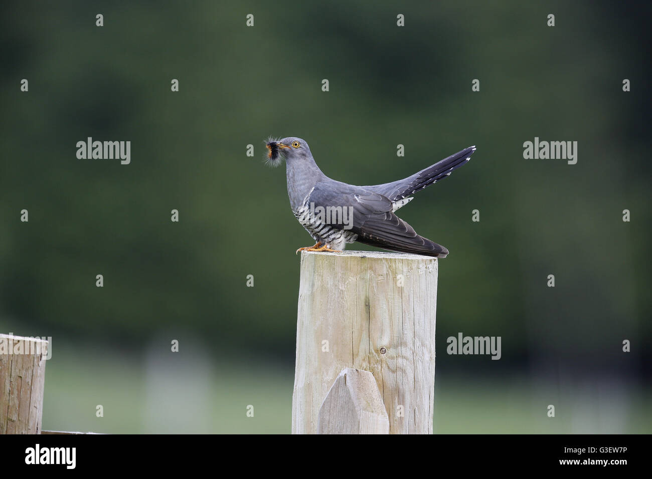 Common Cuckoo, Cuculus canorus, with Garden Tiger caterpillar prey - Stock Image