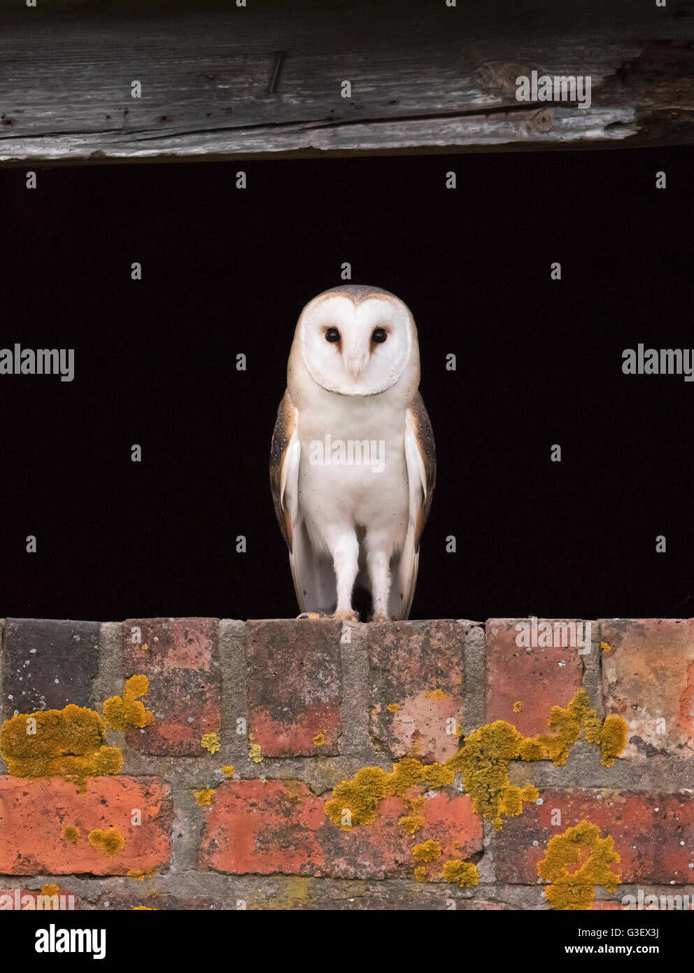 A wild Barn Owl Tyto Alba at entrance to it's nest site before setting off on hunt, Warwickshire Stock Photo